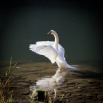 """Swan posing • <a style=""""font-size:0.8em;"""" href=""""http://www.flickr.com/photos/85195461@N00/6358198971/"""" target=""""_blank"""">View on Flickr</a>"""